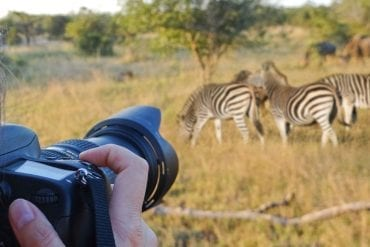 42742934 - photographing wildlife, south africa
